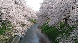 吉野瀬川 桜.JPG